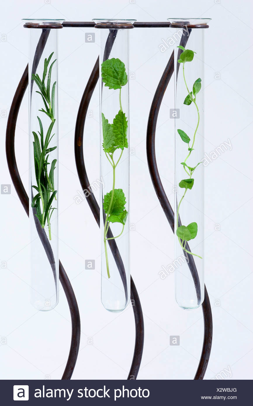 A glass test tubes filled with fresh herbs, with thyme, lemon balm and rosemary Stock Photo