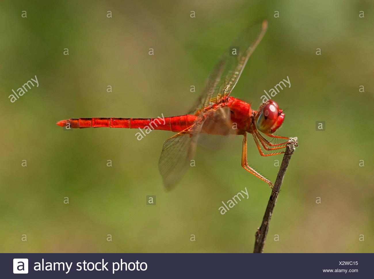 Scarlet skimmer, crimson darter (Crocothemis servilia), male, Battambang, Cambodia, Southeast Asia, Asia - Stock Image