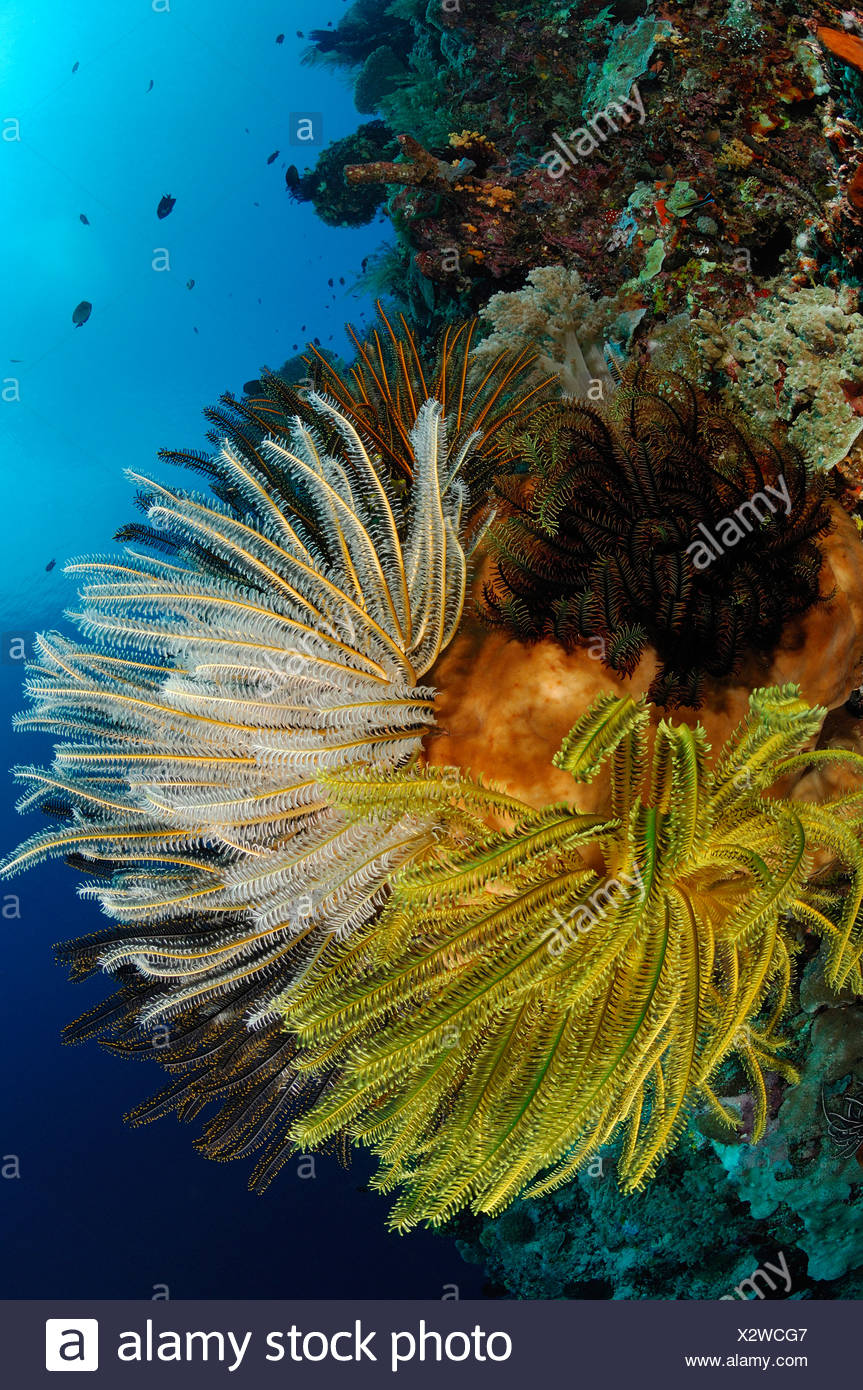 Featherstars in Coral Reef, Bunaken, North Sulawesi, Indonesia - Stock Image