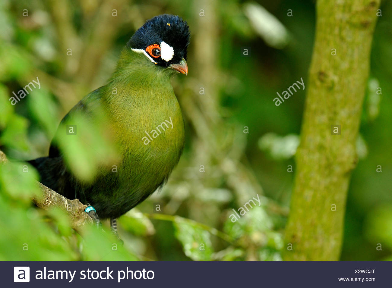 hartlaubs turaco animal bird stock photos hartlaubs. Black Bedroom Furniture Sets. Home Design Ideas