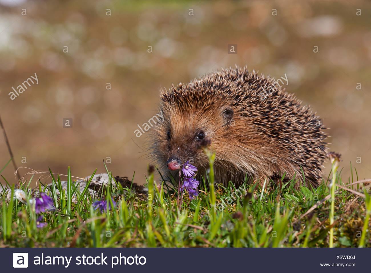 Western hedgehog, European hedgehog (Erinaceus europaeus), in a mountain meadow with snowbell, Switzerland, Alpstein, Schwaegalp - Stock Image