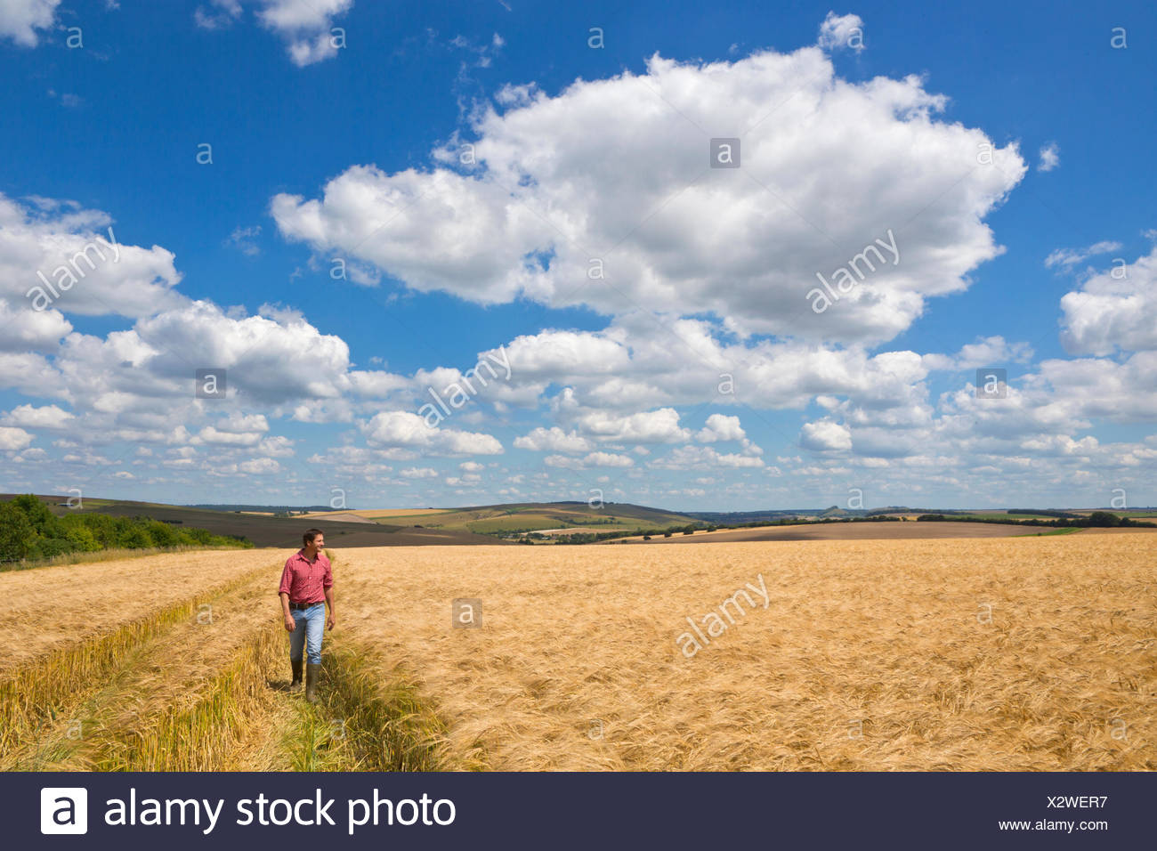 Farmer walking through sunny rural barley crop field in summer - Stock Image
