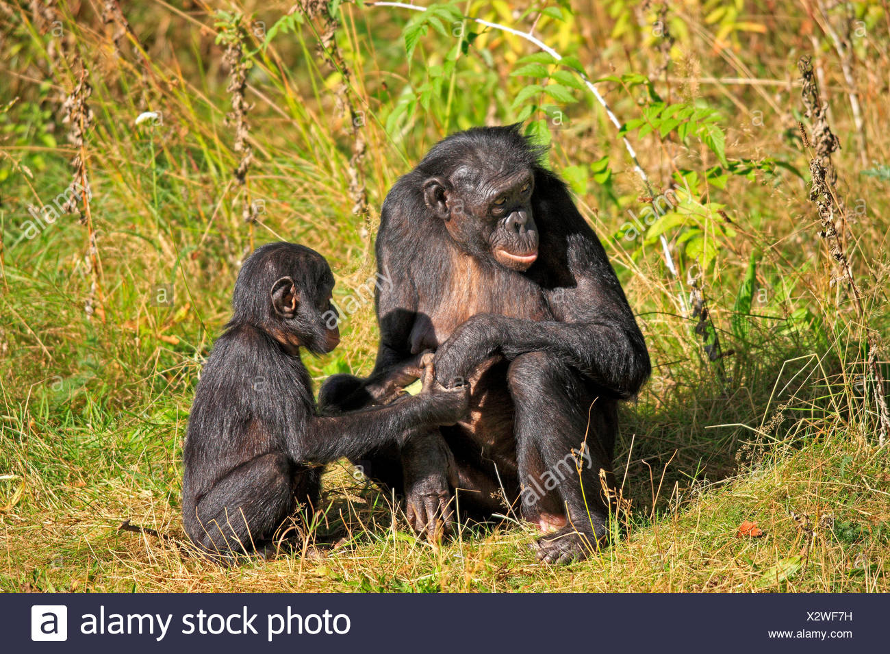 Bonobo, female with young / (Pan Paniscus) - Stock Image