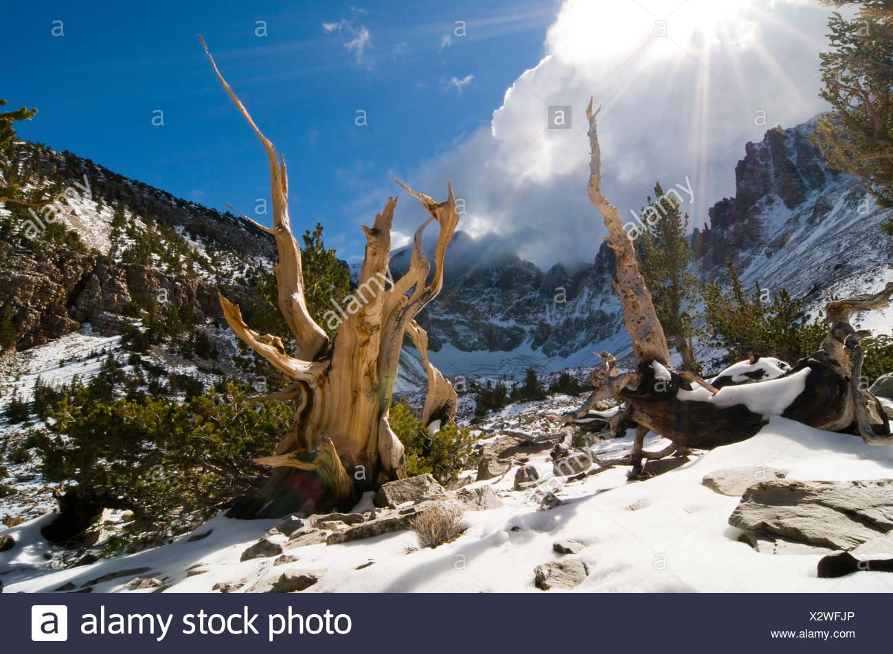 Rays of sun penetrate the clouds illuminating several bristlecone pine trees in the Wheeler Peak Grove in Great Basin National P - Stock Image