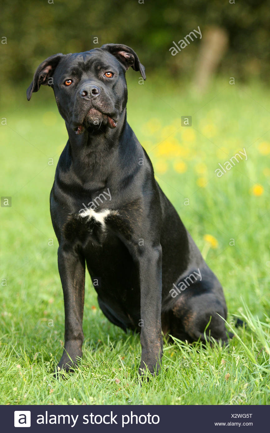 Young Cane Corso Dog Sitting On Meadow Stock Photo 277156708 Alamy