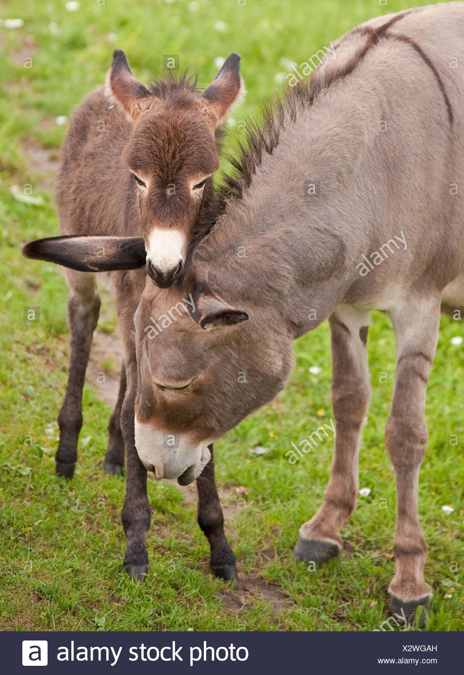 mothers donkey horse foal motherly love patronizes salvaged cap nut willow eyes - Stock Image