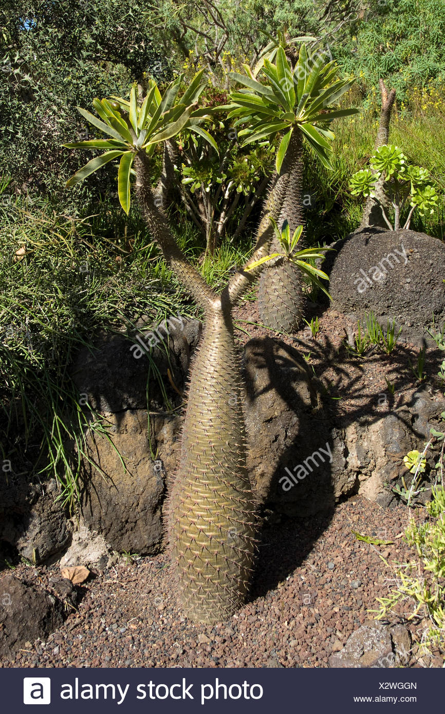 Madagascar palm (Pachypodium lamerii, Pachypodium lamerei), in garden, Canary Islands, Gran Canaria - Stock Image