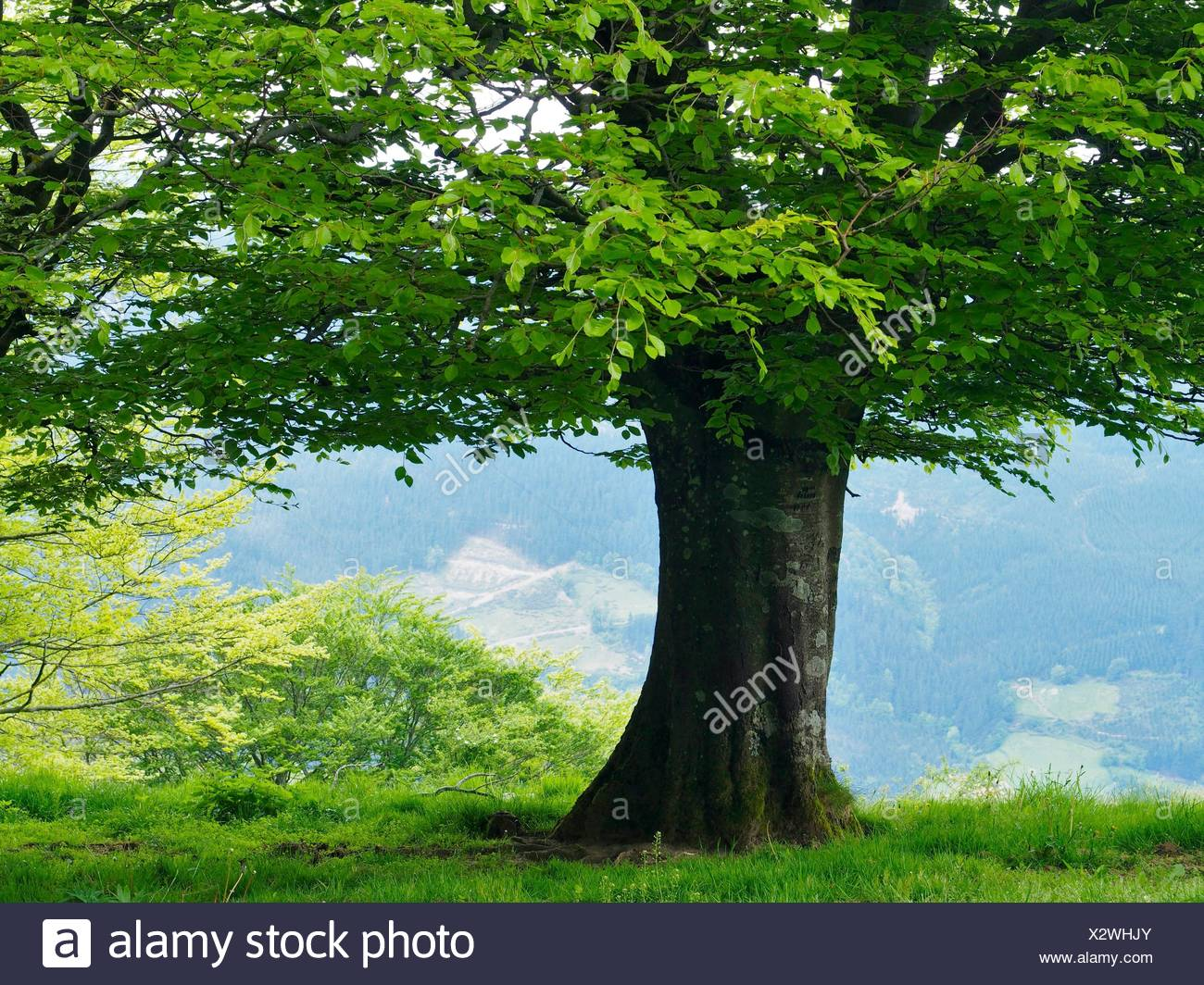 Beech tree (Fagus sylvatica). Anboto mountain. Urkiola Natural Park. Bizkaia province. Euskadi. Spain. - Stock Image