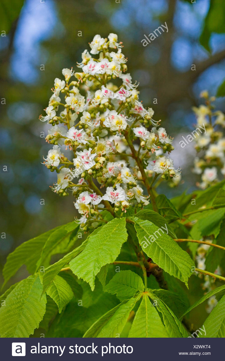 common horse chestnut (Aesculus hippocastanum), blooming branch, Germany - Stock Image