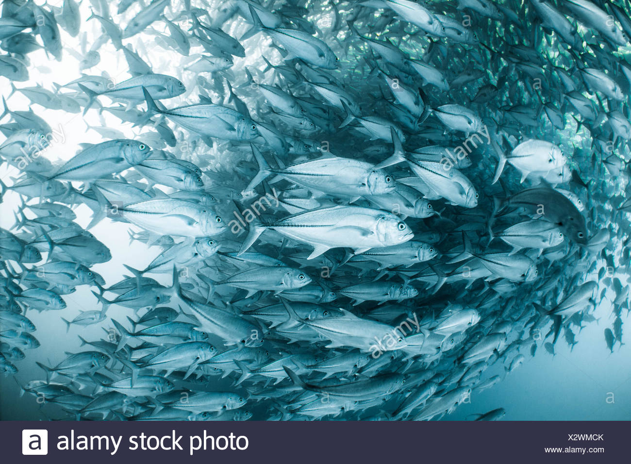 A large school of horse eye jackfish in the Cabo Pulmo Nature Reserve in Baja, Mexico. - Stock Image