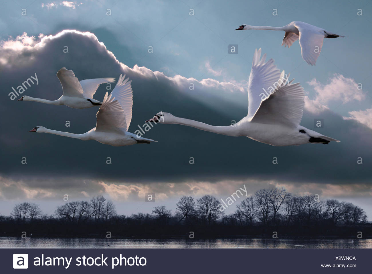 mute swan (Cygnus olor), four swans flying over strech of water, Germany - Stock Image