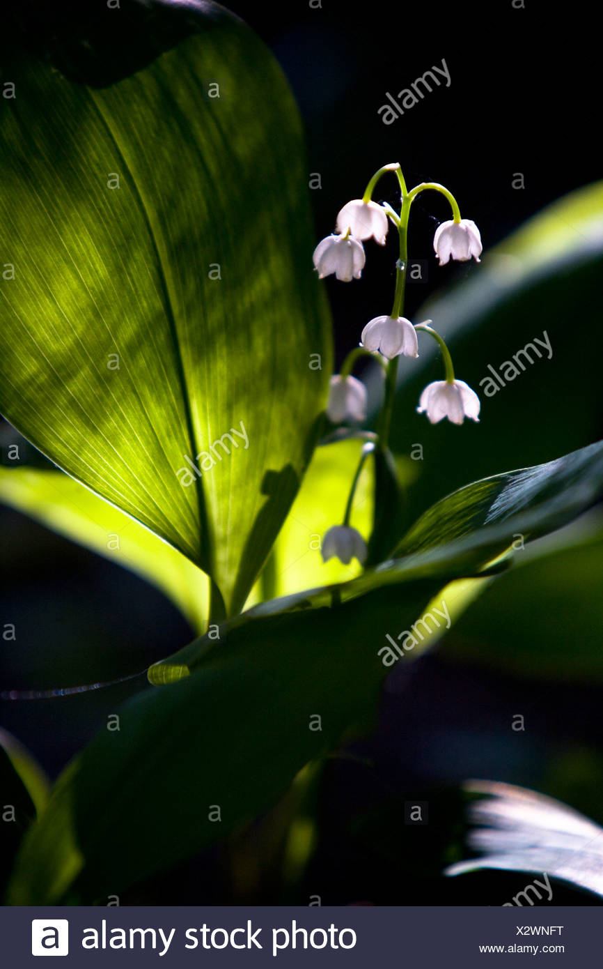 Lilyofthevalley stock photos lilyofthevalley stock images alamy lily of the valley flowers stock image izmirmasajfo Images