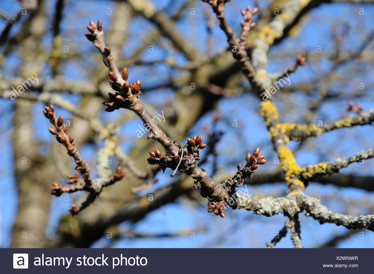 Sweet cherry tree, fruit-buds - Stock Image