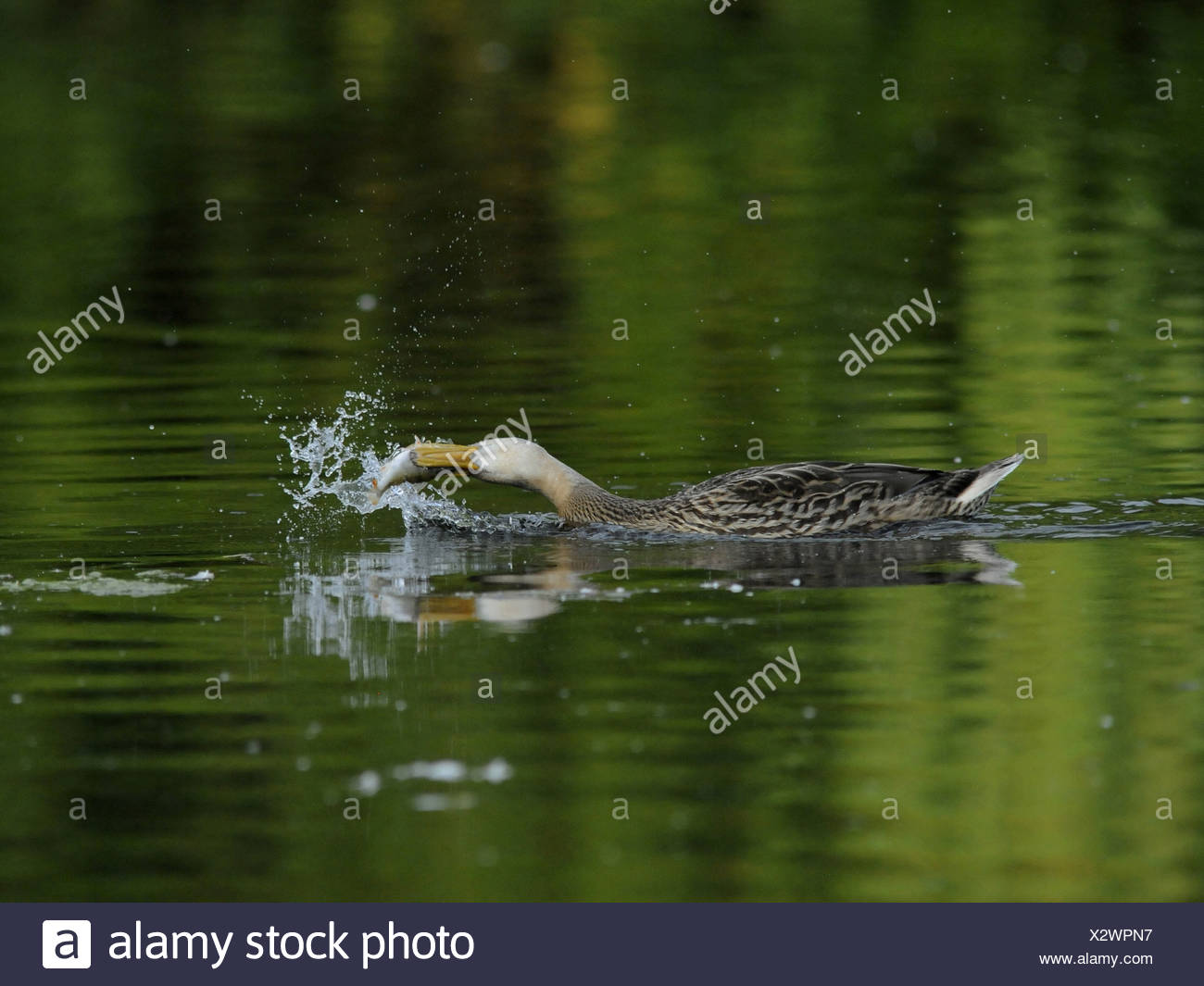 A lucky catch, a duck catching a fish. - Stock Image