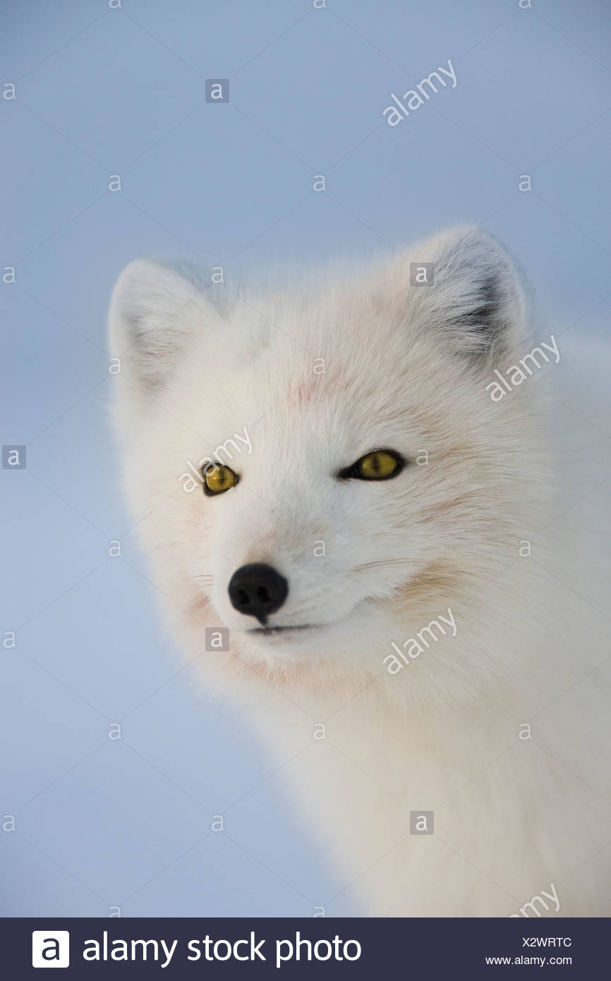 An arctic fox surveys it's icy domain on a frigid winter day in the arctic - Stock Image