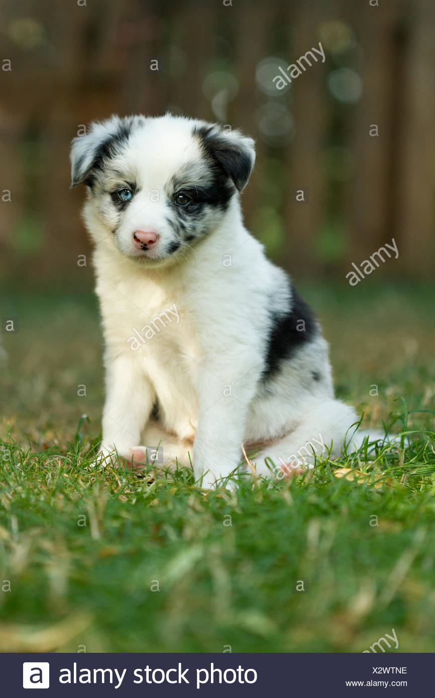 Border Collie Puppy Blue Merle Six Weeks Old Stock Photo Alamy