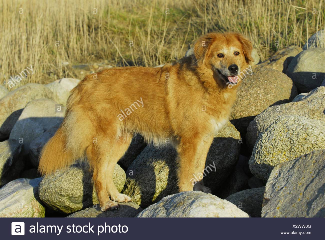Mongrel - Stock Image