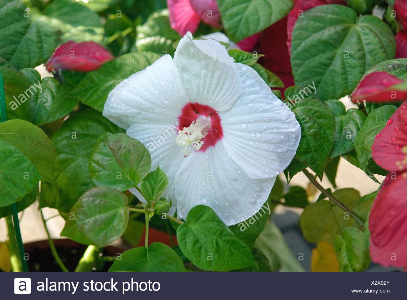 Swamp Rose Mallow Rose Mallow Hibiscus Moscheutos Luna White