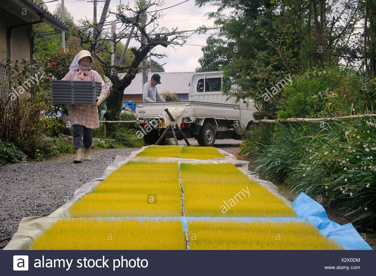 Rice seedlings being placed in the open air, Iwakura, Japan, Asia - Stock Image
