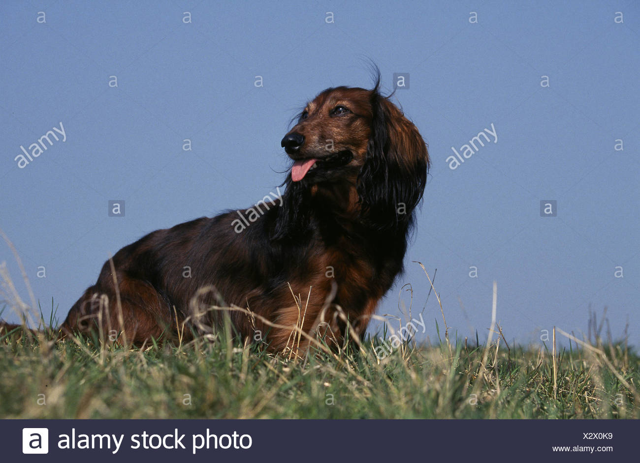 Dog Dachshund Teckel Breed Outside Stock Photos & Dog Dachshund ...
