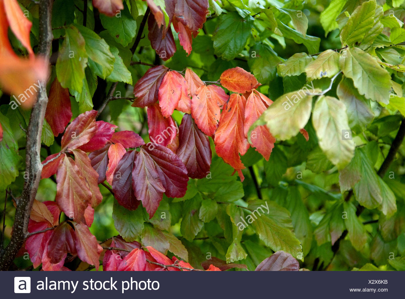 Ironwood, parrotia (Parrotia persica), branch with autumn leaves - Stock Image