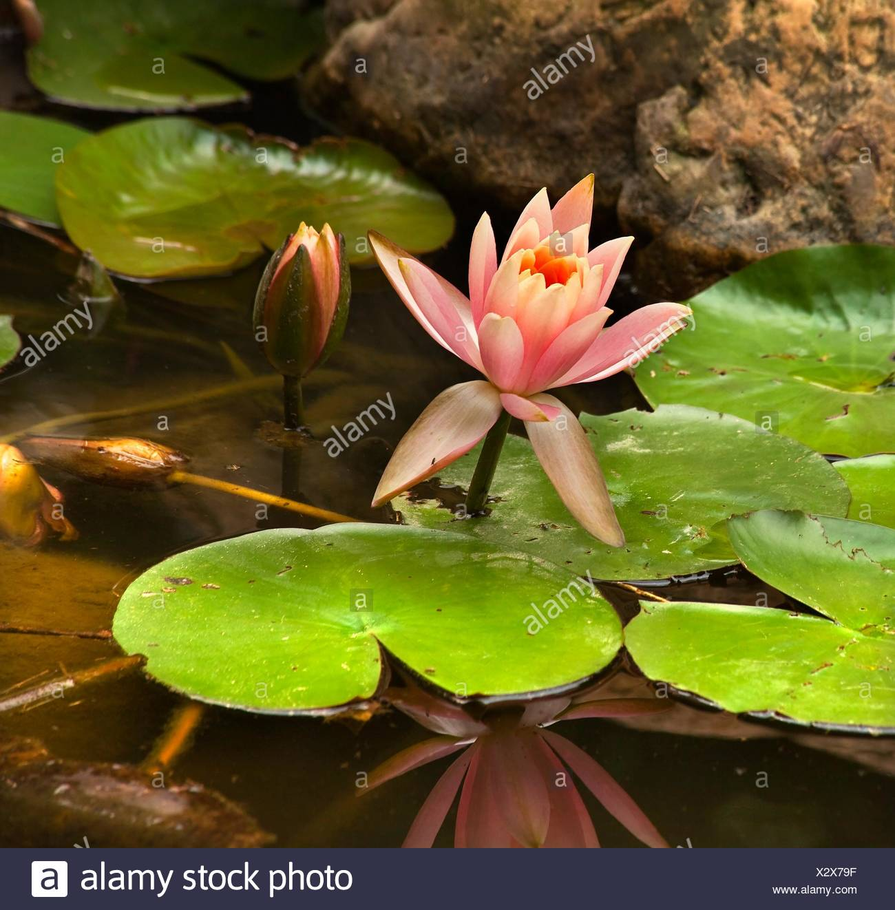 Dragon Lily Stock Photos Dragon Lily Stock Images Page 2 Alamy