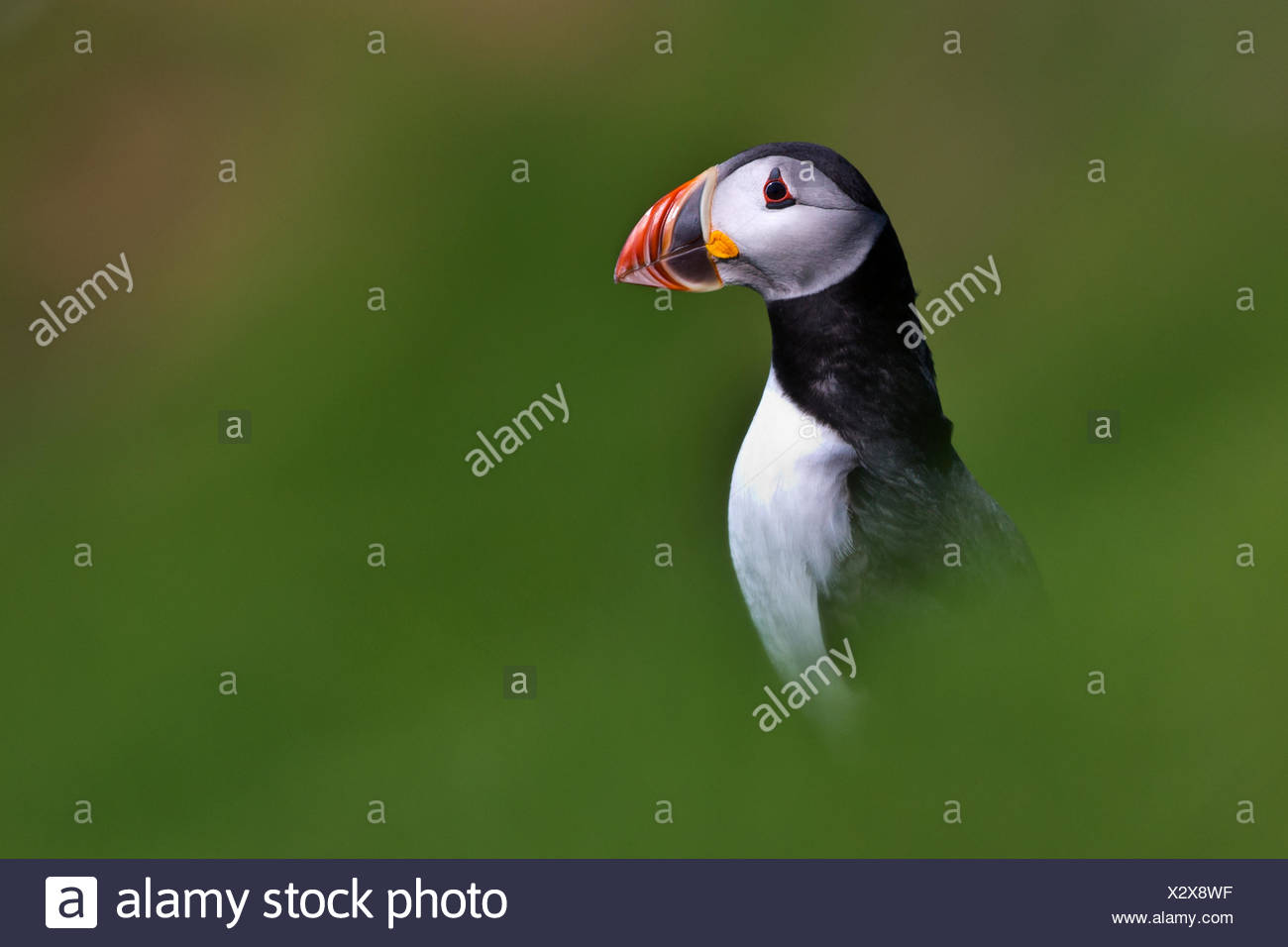 Portrait of an Atlantic puffin. - Stock Image