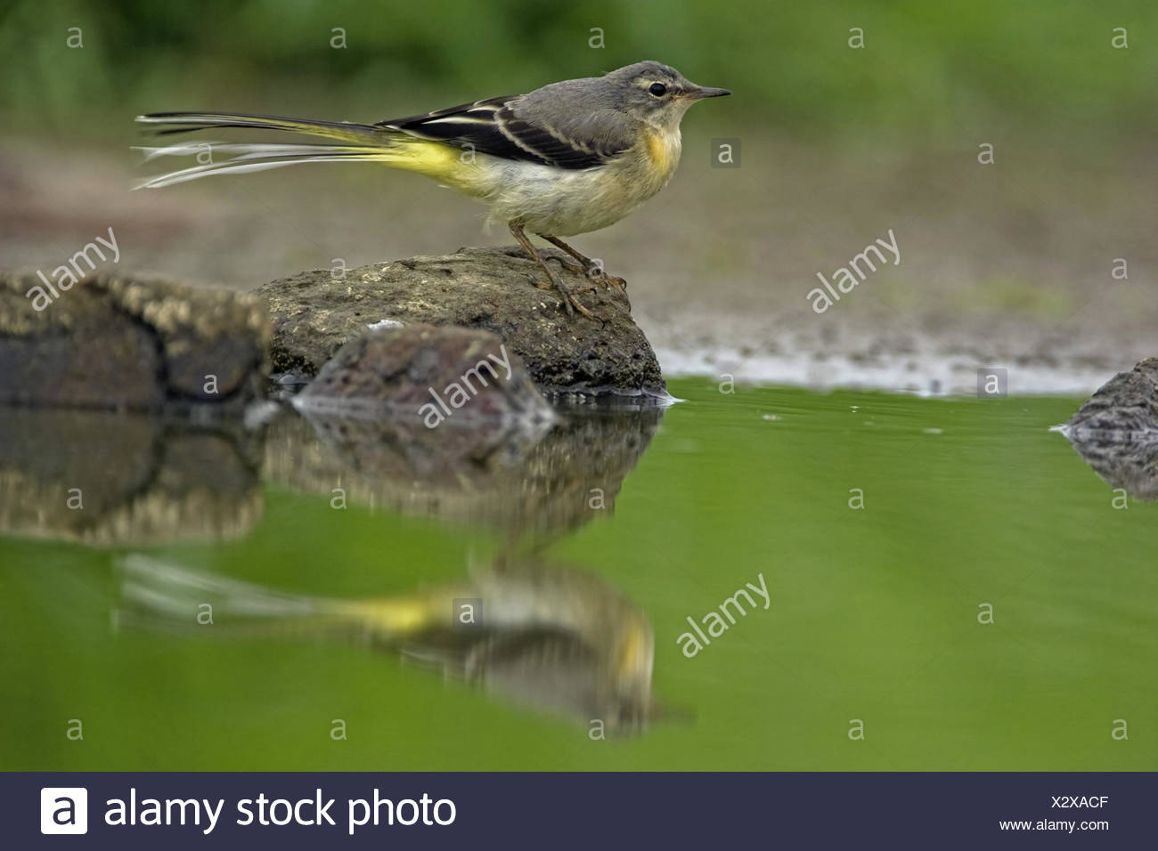 grey wagtail (Motacilla cinerea), on a stone in a pond, Belgium - Stock Image