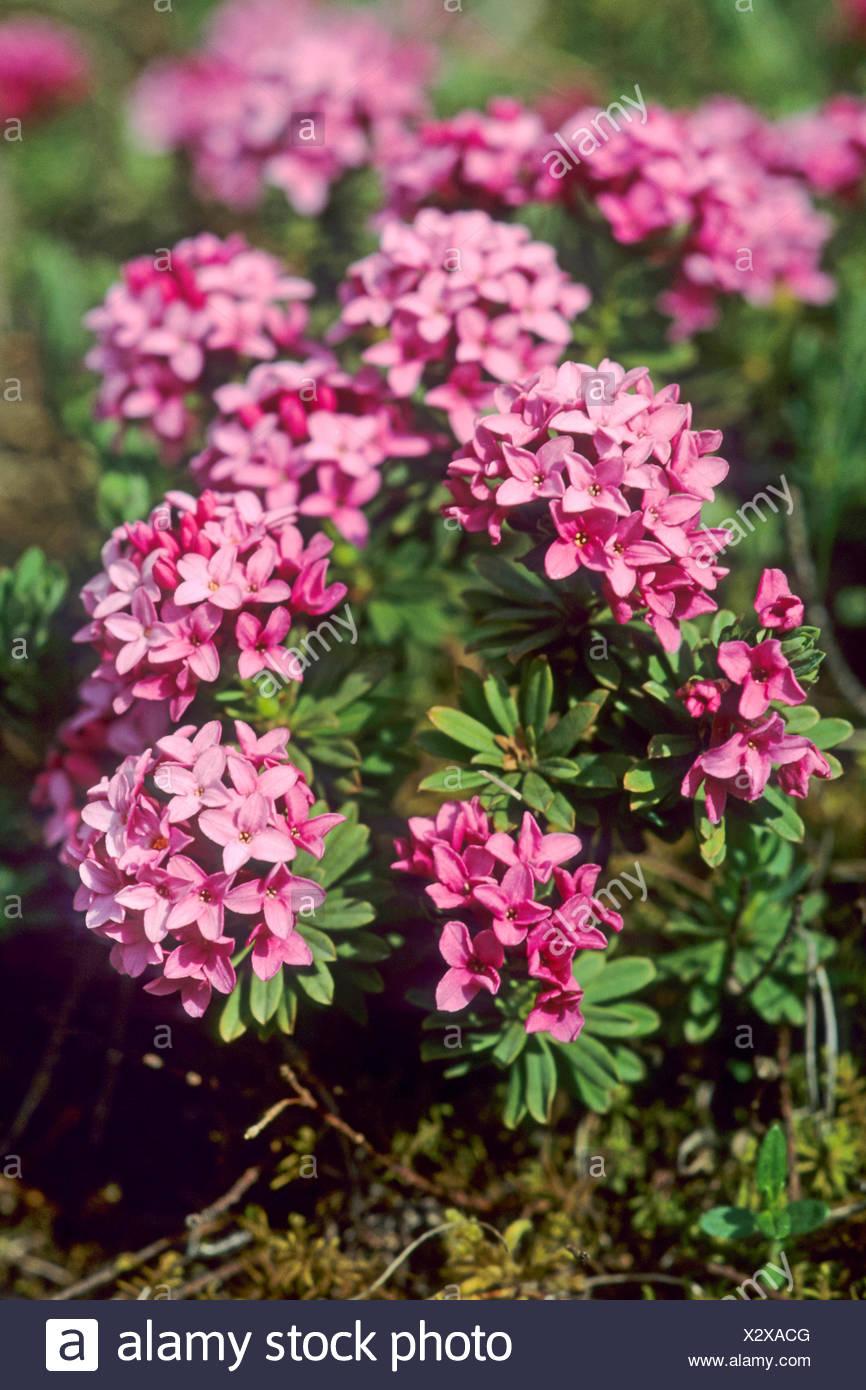 Garland Flower, Rose Daphne (Daphne cneorum), blooming, Germany - Stock Image