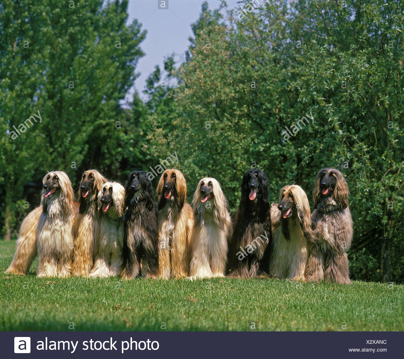 Afghan Hound, Dog on Lawn Stock Photo