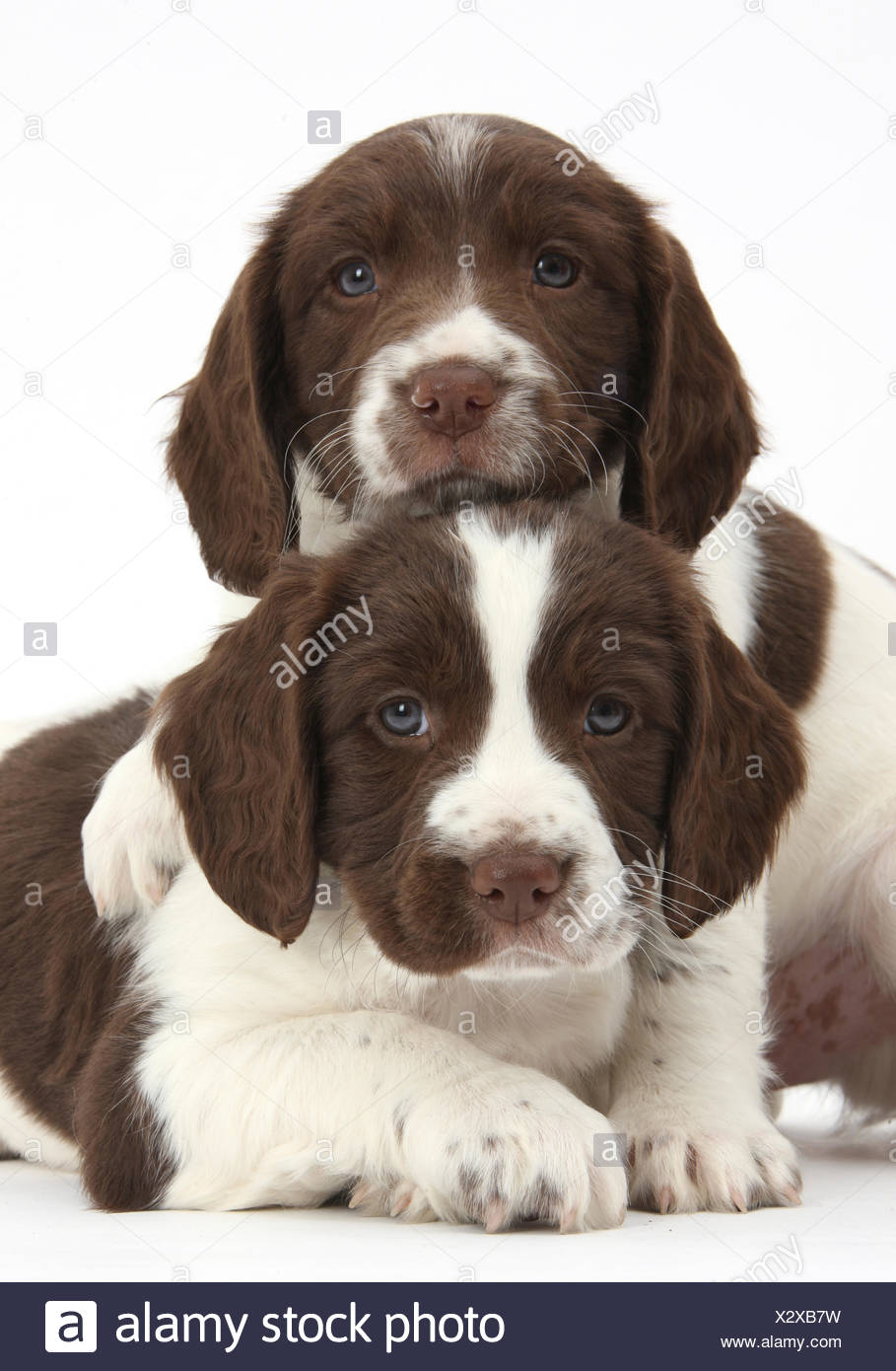 Springer Spaniel High Resolution Stock Photography And Images Alamy