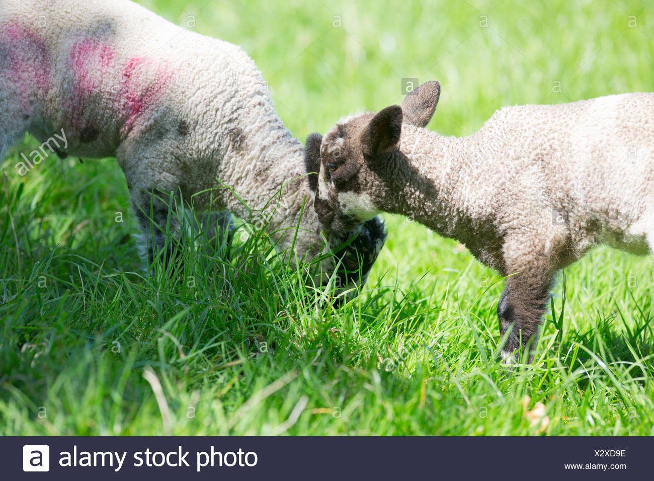 Lambs grazing in green spring grass - Stock Image