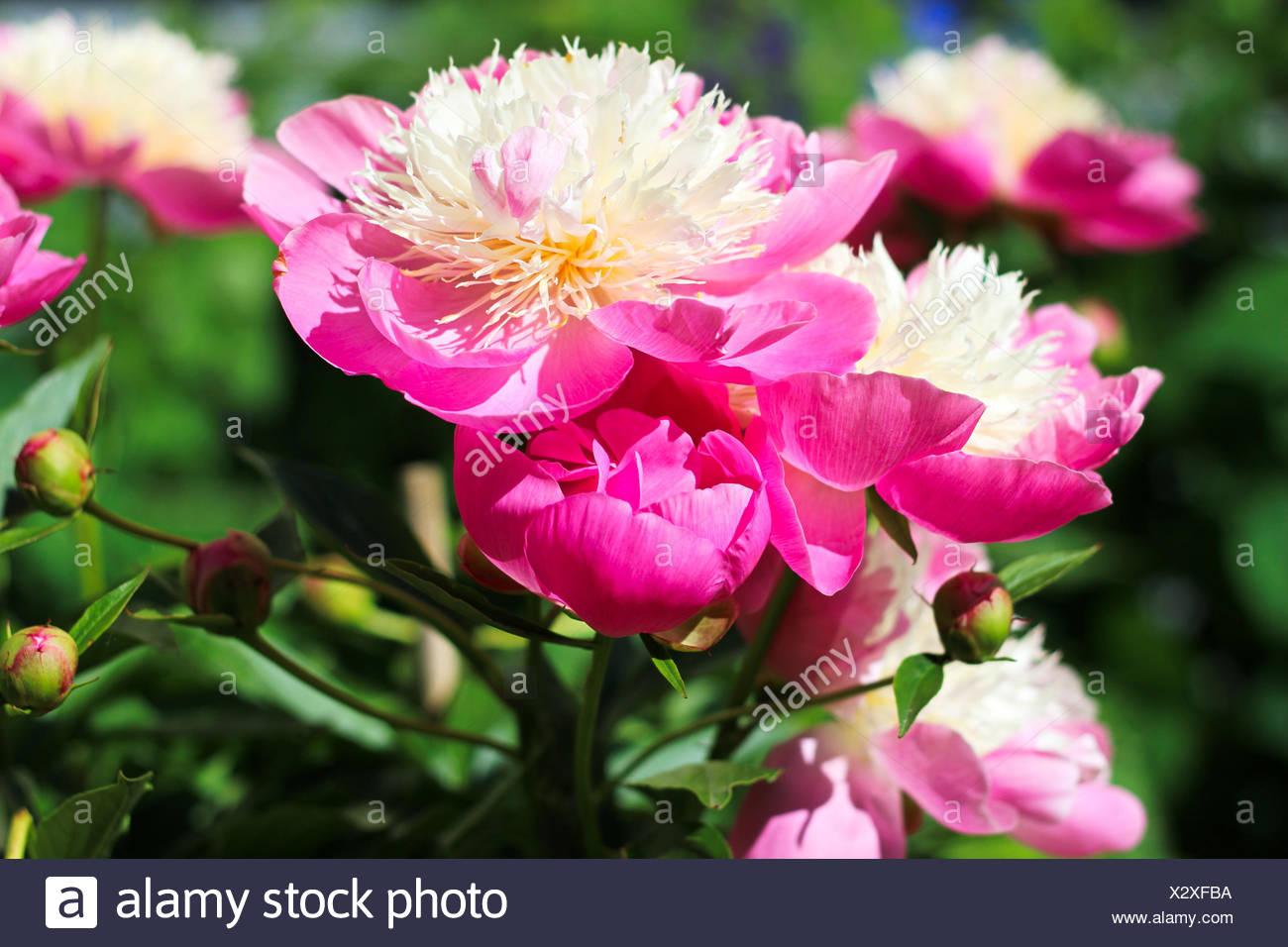 Pfingstrosen Rosa Stock Photo 277178030 Alamy