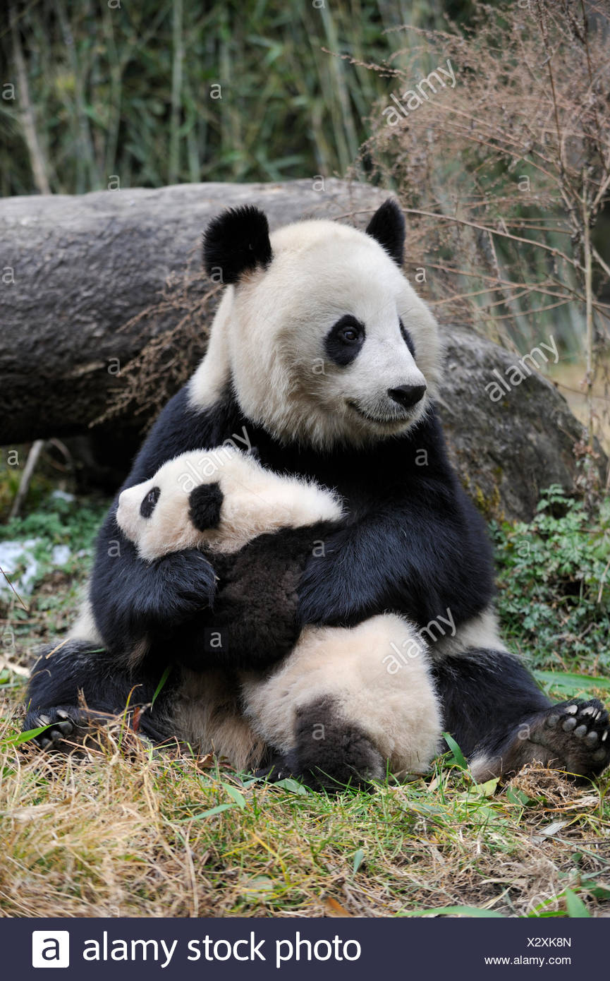 Giant panda (Ailuropoda melanoleuca) mother and cub. Wolong Nature Reserve, Wenchuan, Sichuan Province, China. Captive. Stock Photo