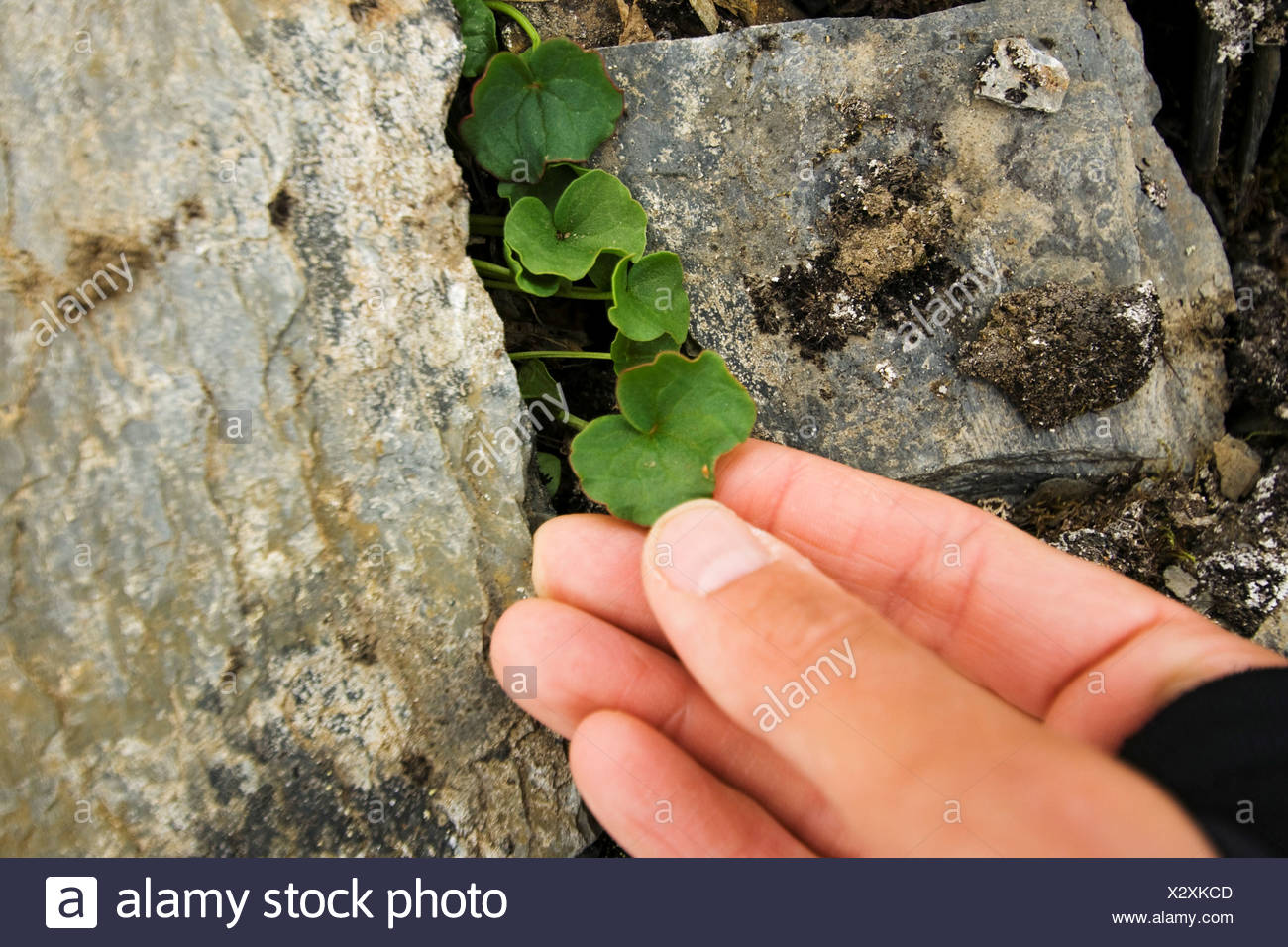 Delicate unidentified plant growing from between rocks on the tundra, St. Jonsfjord, west coast of Svalbard, Norway. - Stock Image