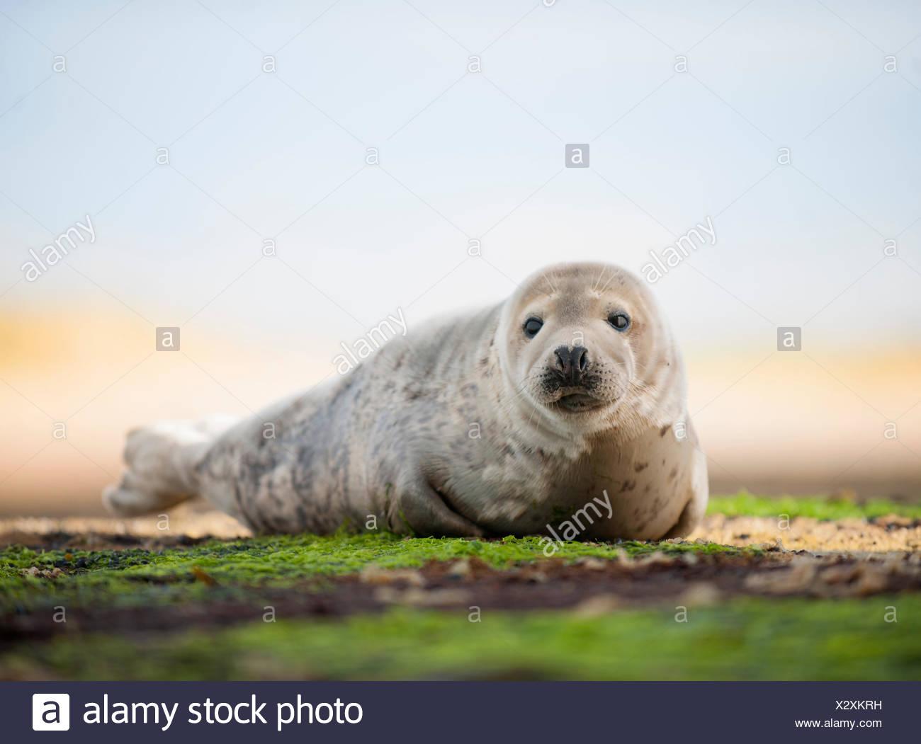 Portrait of common seal on beach - Stock Image