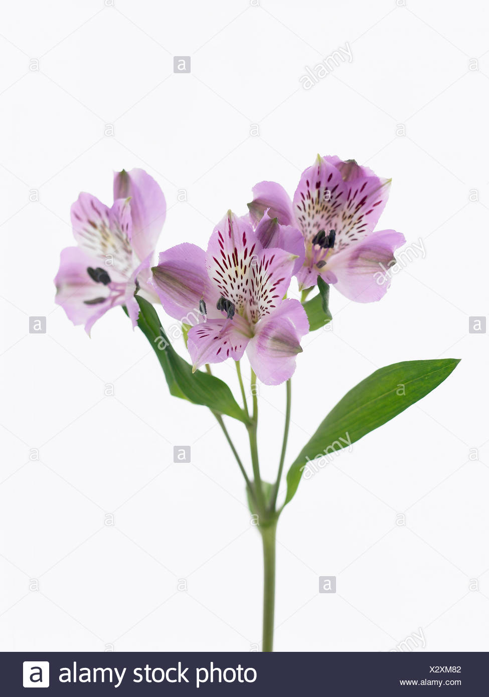Alstroemeria Cultivar Peruvian Lily Purple Flowers On A Single Stem Against A White Background Stock Photo Alamy