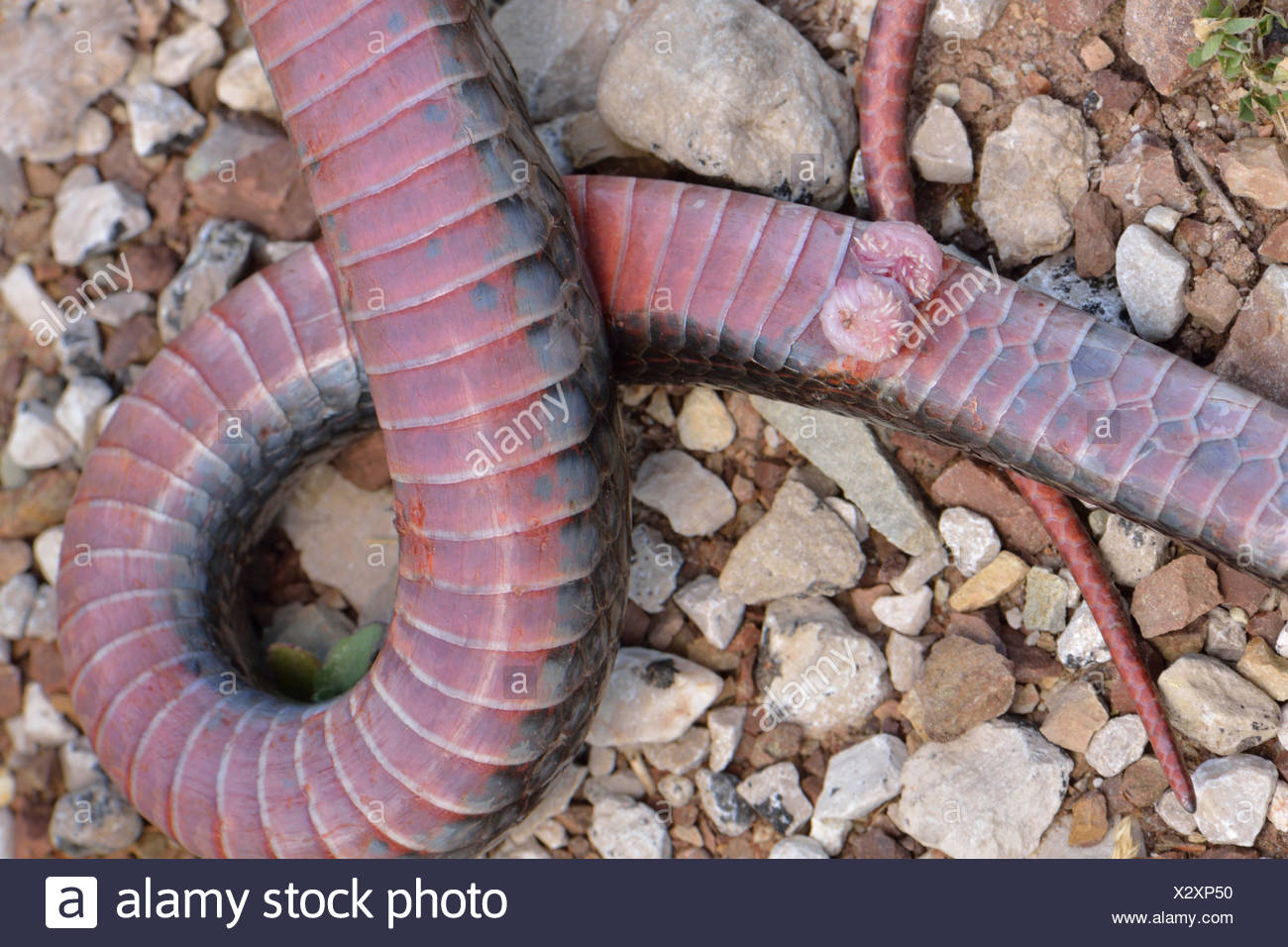 Genitals or hemipenis of a snake, Large Whip Snake (Dolichophis jugularis), Lycia, Turkey - Stock Image