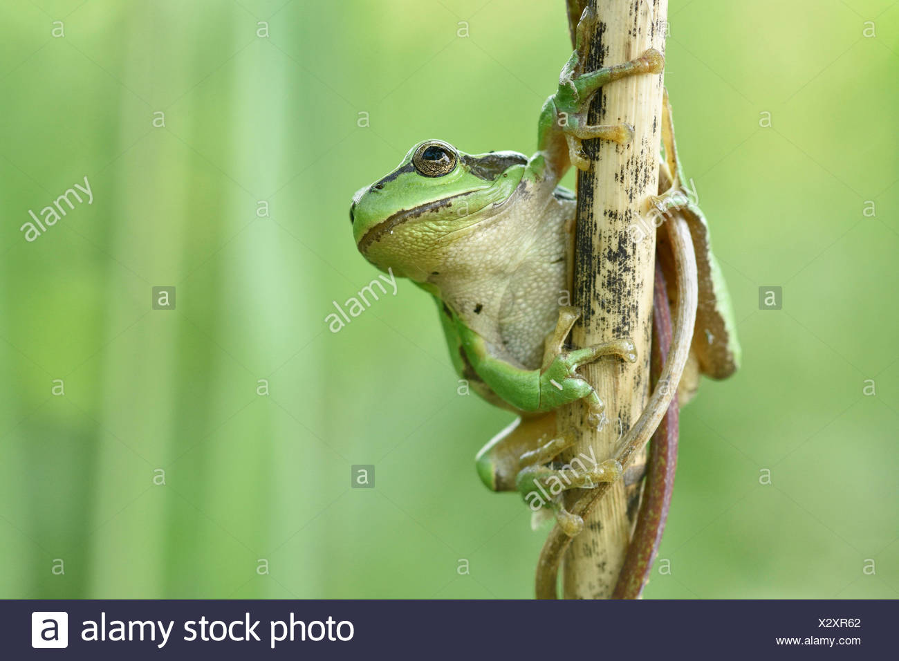 European tree frog (Hyla arborea) sits at reed stem,Biosphere Reserve Oberlausitzer Heide- und Teichlandschaft,Saxony,Germany - Stock Image