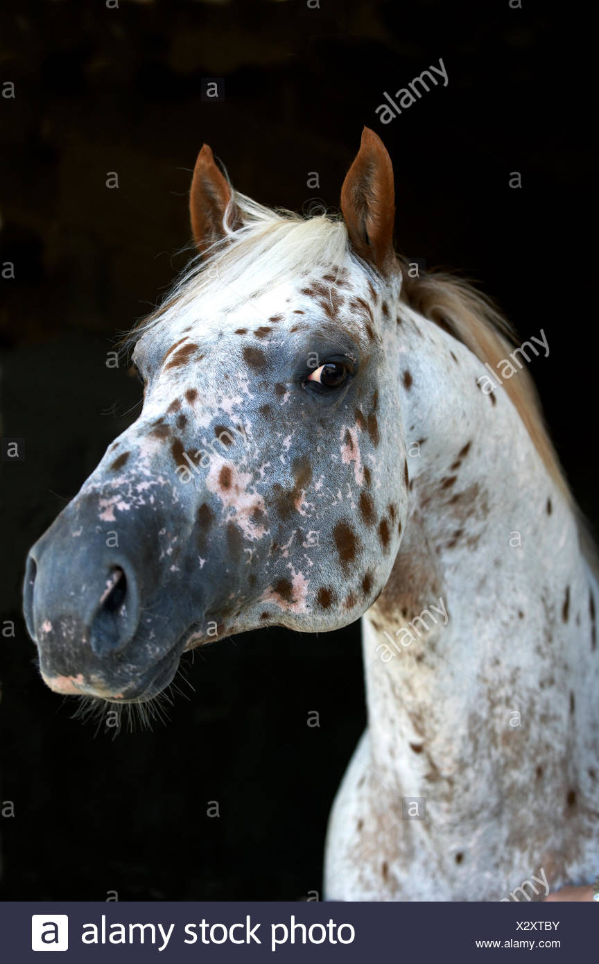 Appaloosa Horse Portrait Stock Photo Alamy