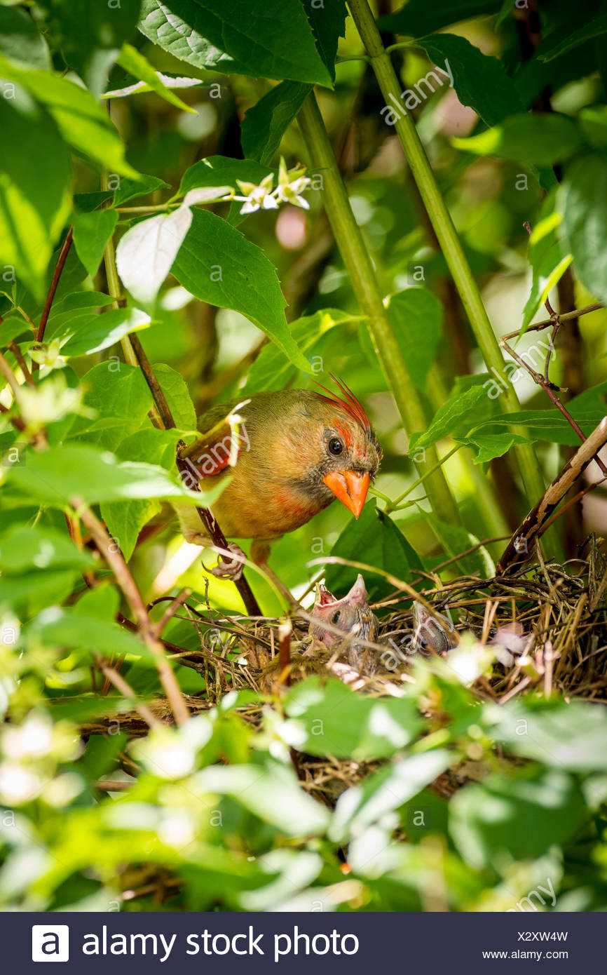 Female Northern Cardinal tending to her nestlings in a backyard mock orange tree, Toronto, Ontario, Canada - Stock Image