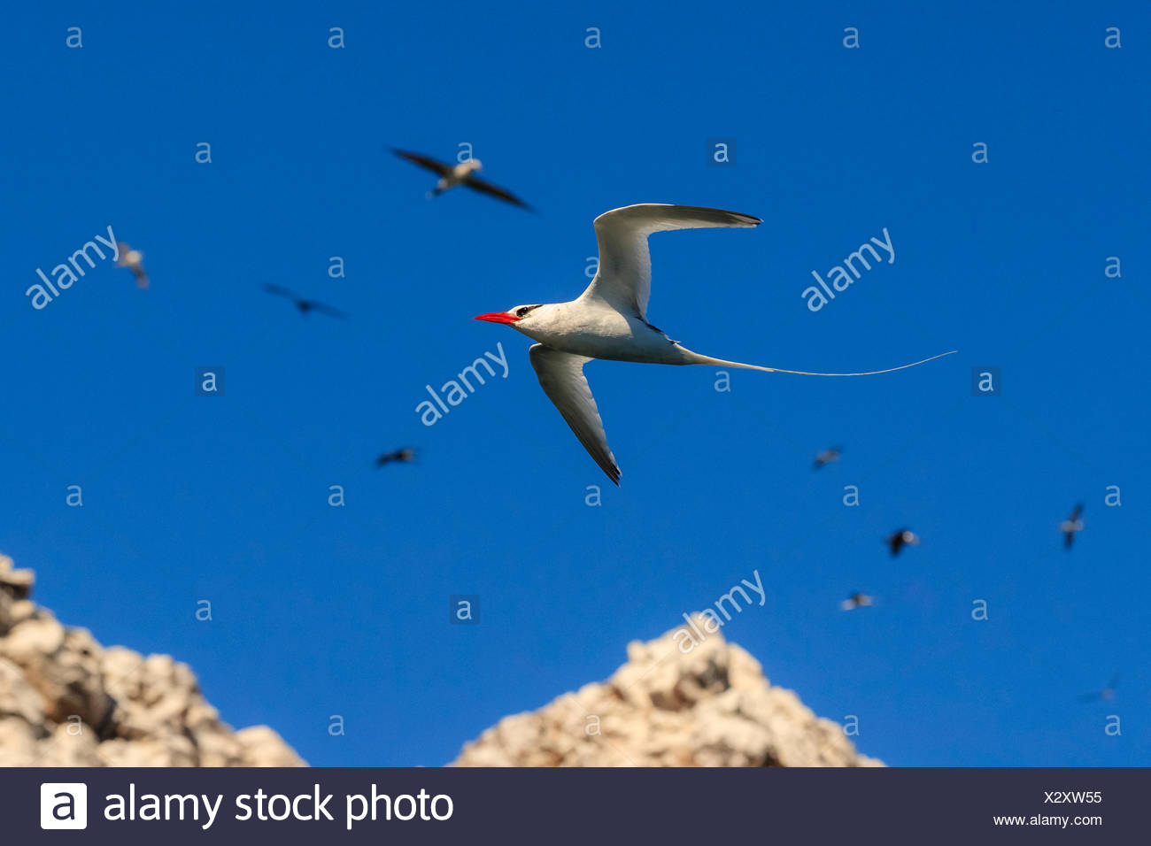 Red-billed tropic bird, Phaethon aethereus, in flight at San Pedro Martir Island. - Stock Image
