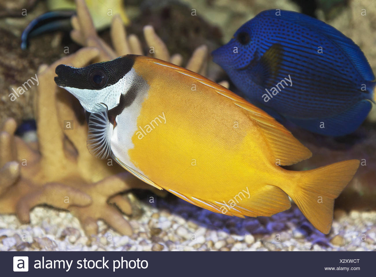 Foxface rabbitfish - Stock Image