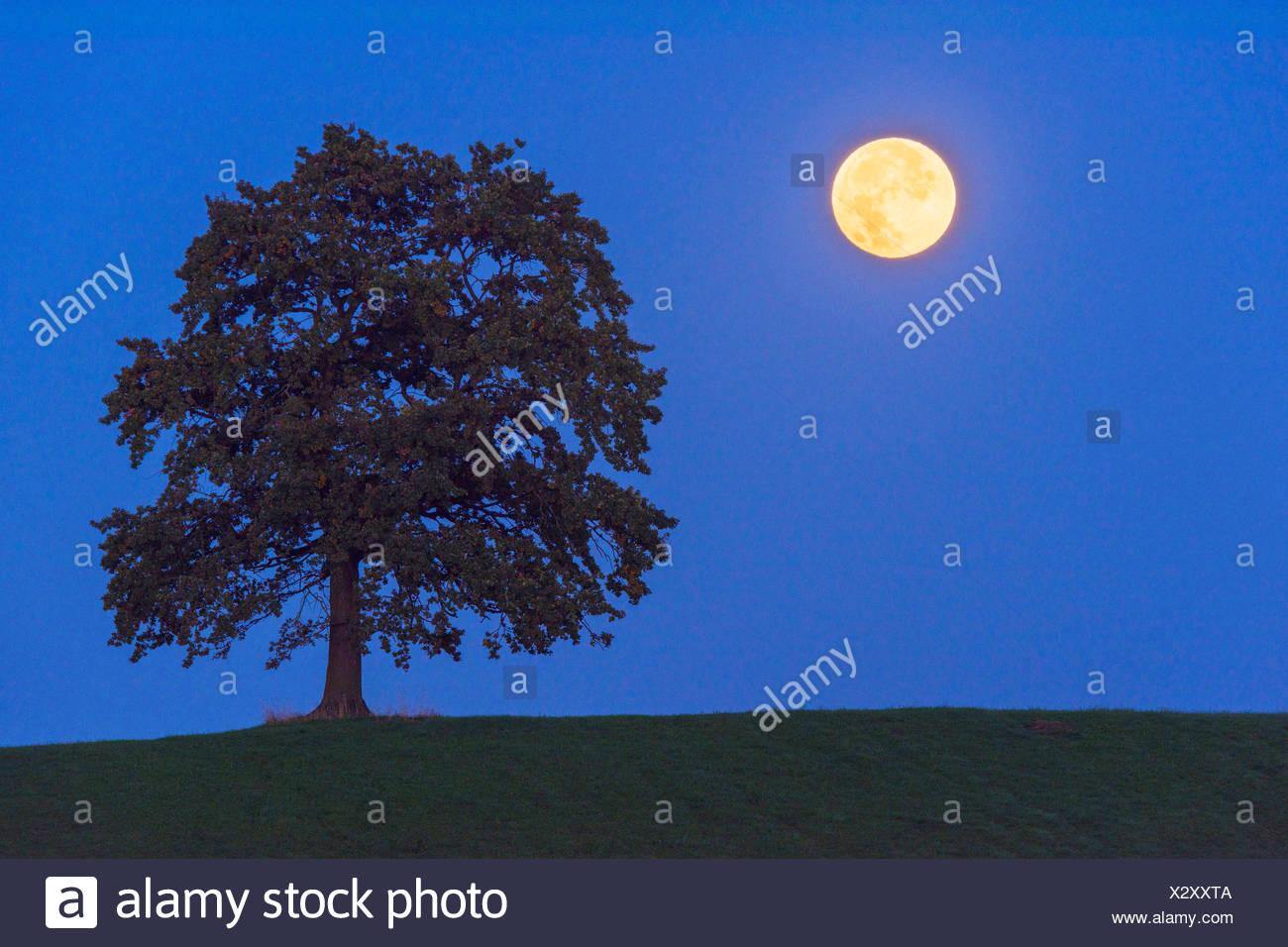 Vollmond im Halbschatten der Erde neben einem Baum, Deutschland, Bayern   single tree and full moon at night, Germany, Bavaria   - Stock Image