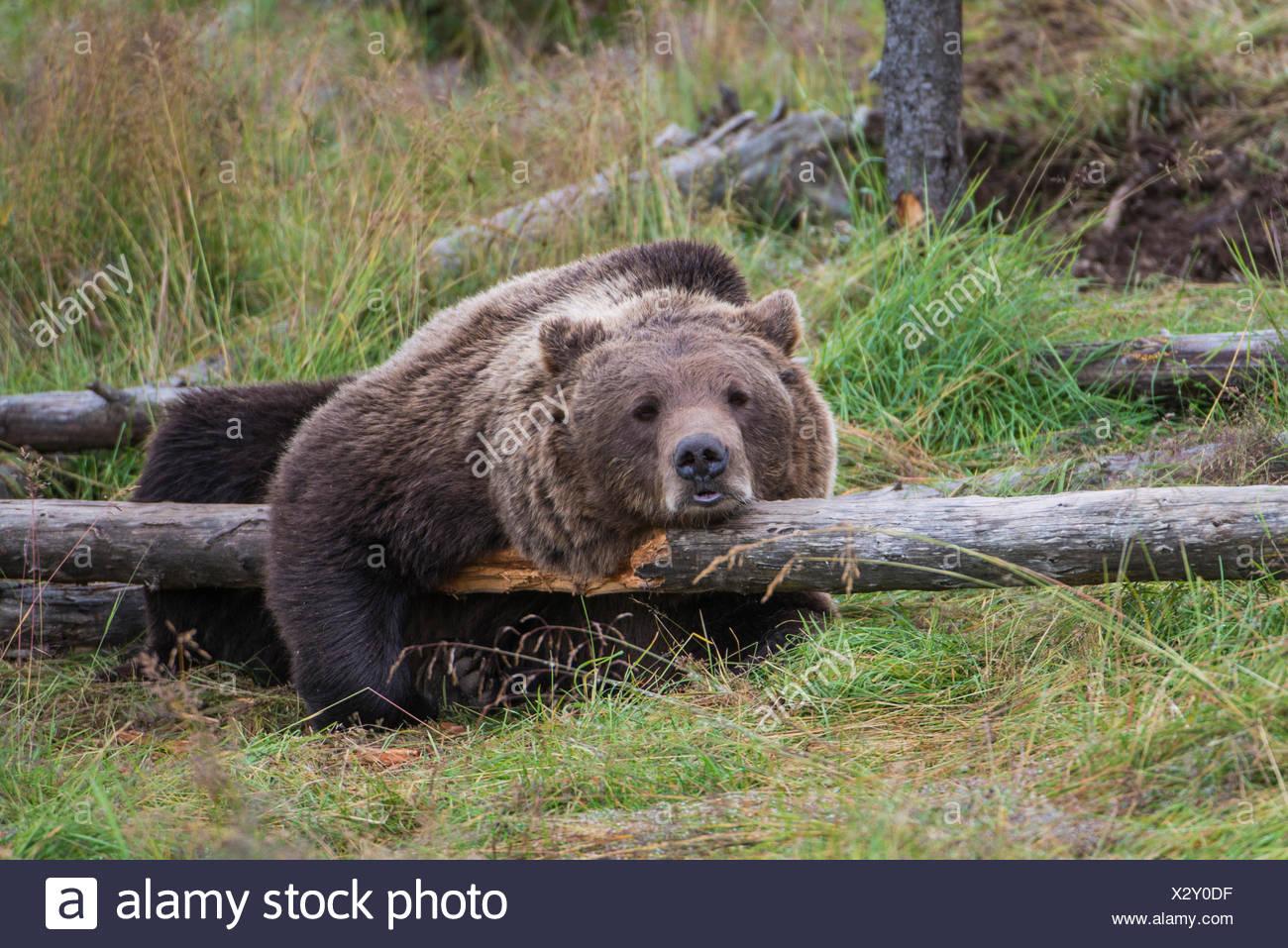 Brown bear (Ursus arctos) lying on a fallen tree trunk, Namsskogan Familienpark, Trones, Nord-Trøndelag, Trøndelag, Norway Stock Photo