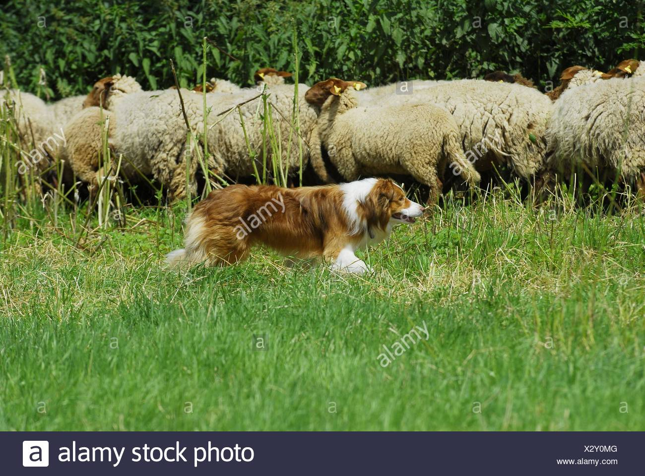 shepherding Border Collie - Stock Image