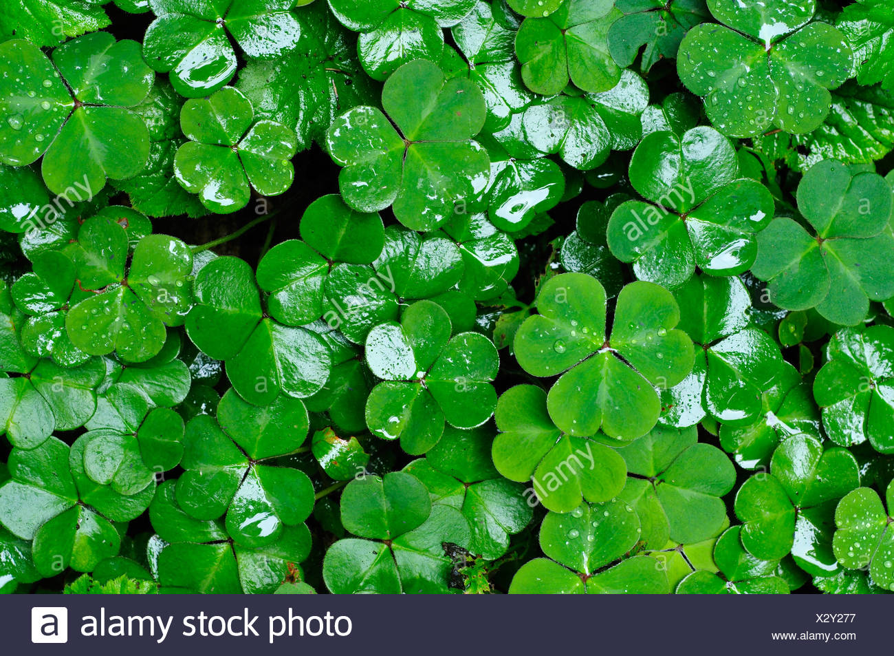 Clover leaves Stock Photo