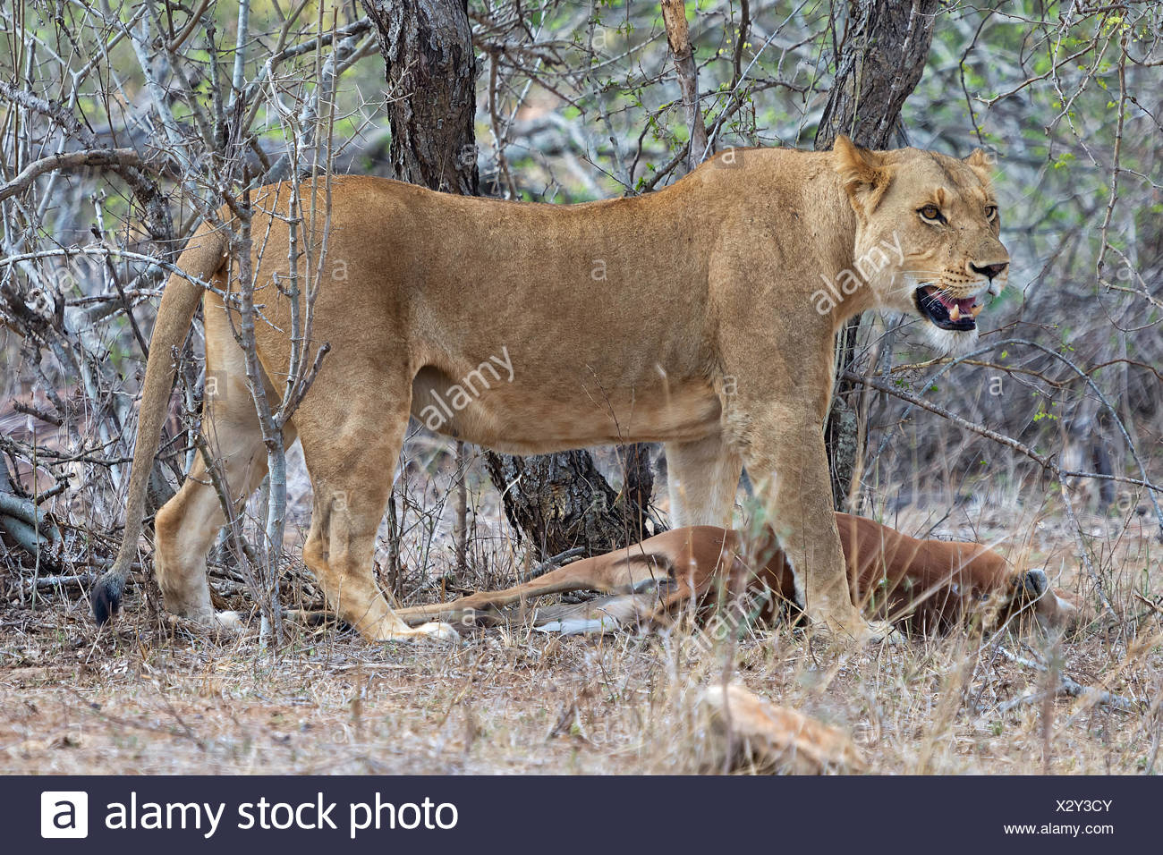 lioness has just killed an impala - Stock Image