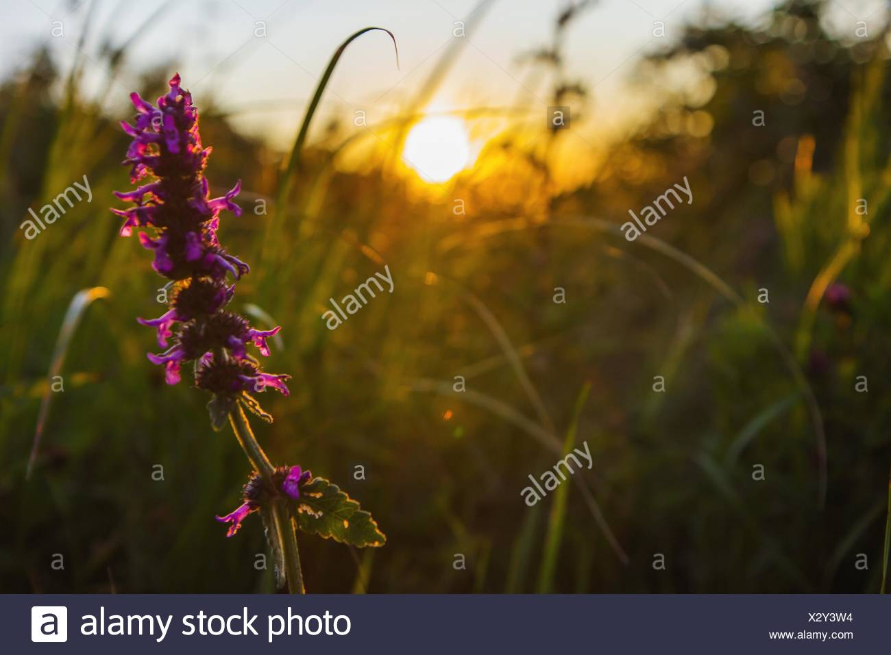 Close-Up Of Magenta Flower In Field Against Sky - Stock Image