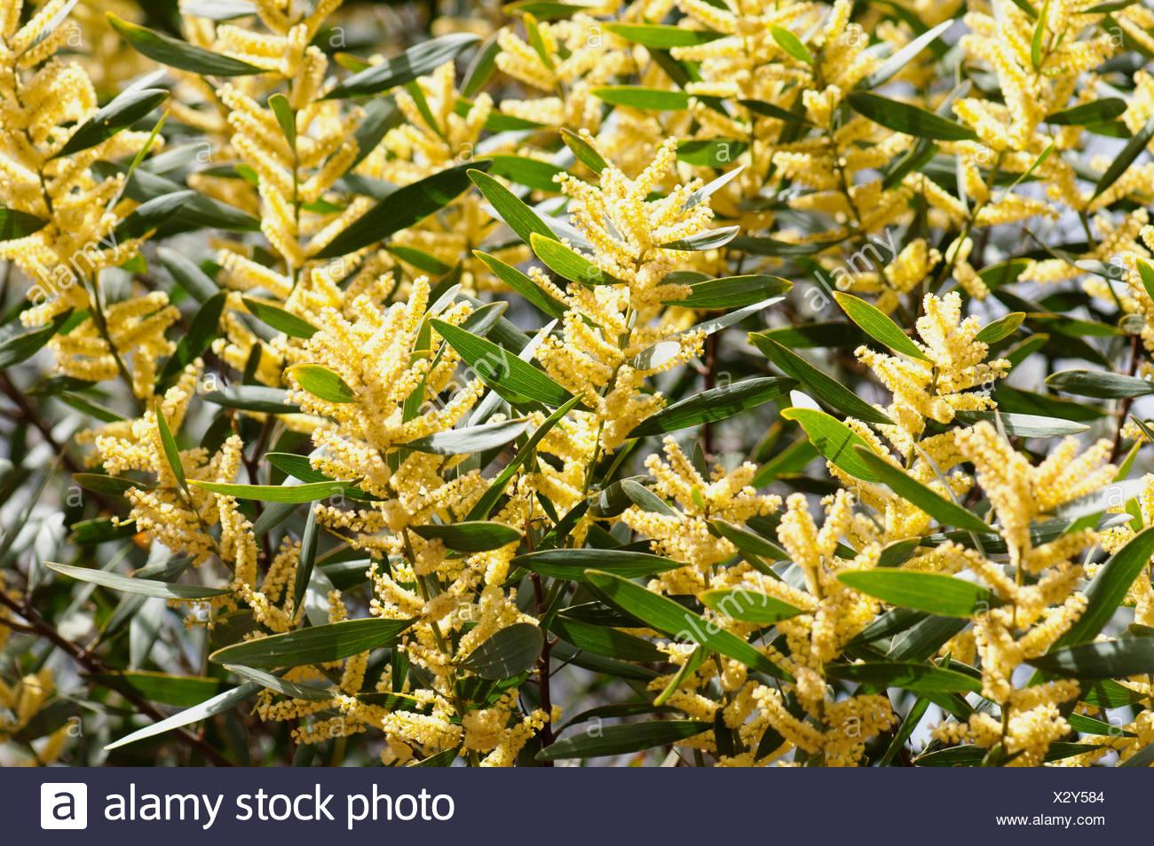 Wattle Golden Wattle Acacia Longifolia Stock Photo 277192052 Alamy